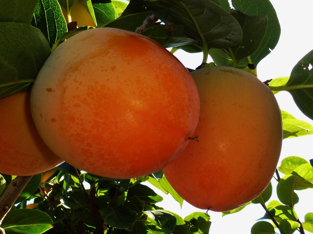 il-frutto-melotto1