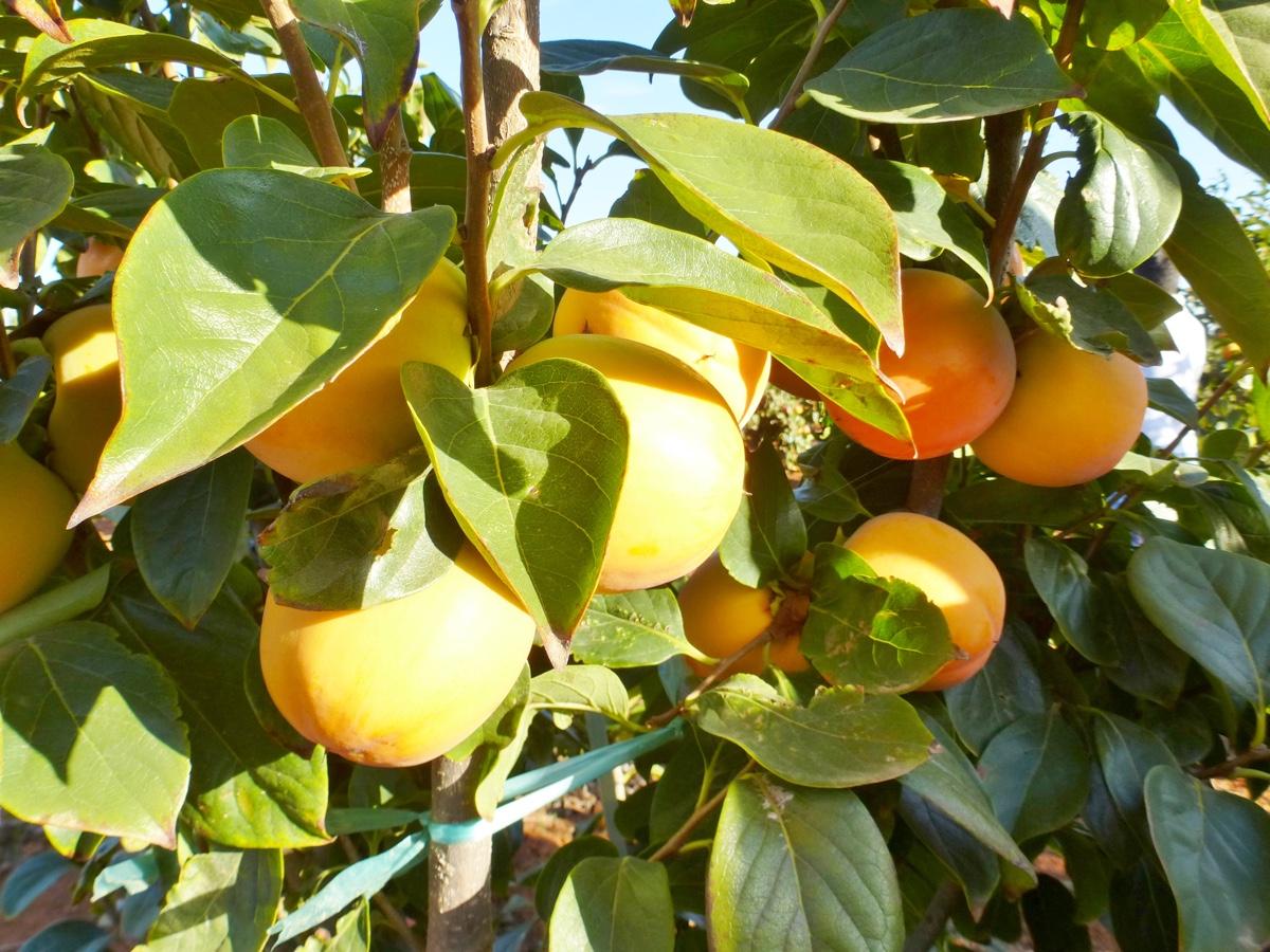il-frutto-melotto11
