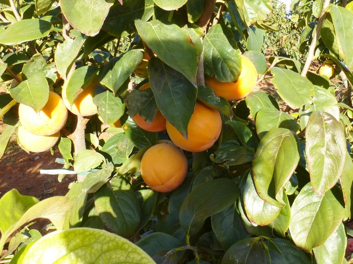 il-frutto-melotto12