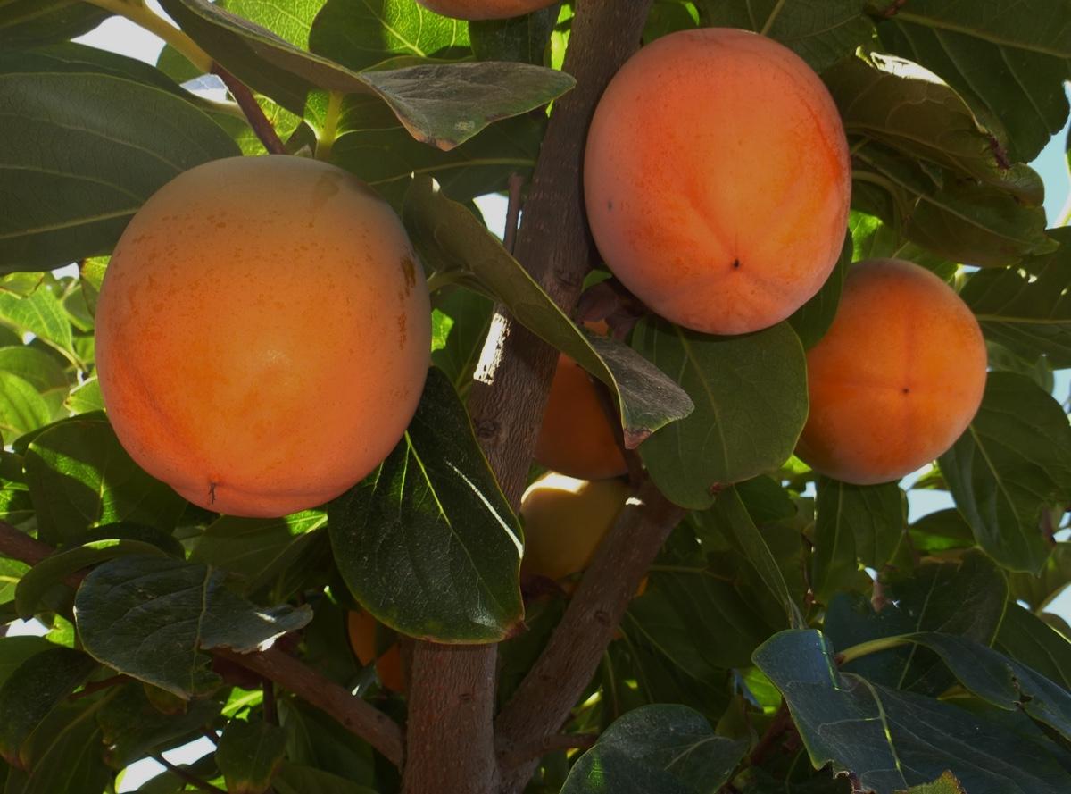 il-frutto-melotto14