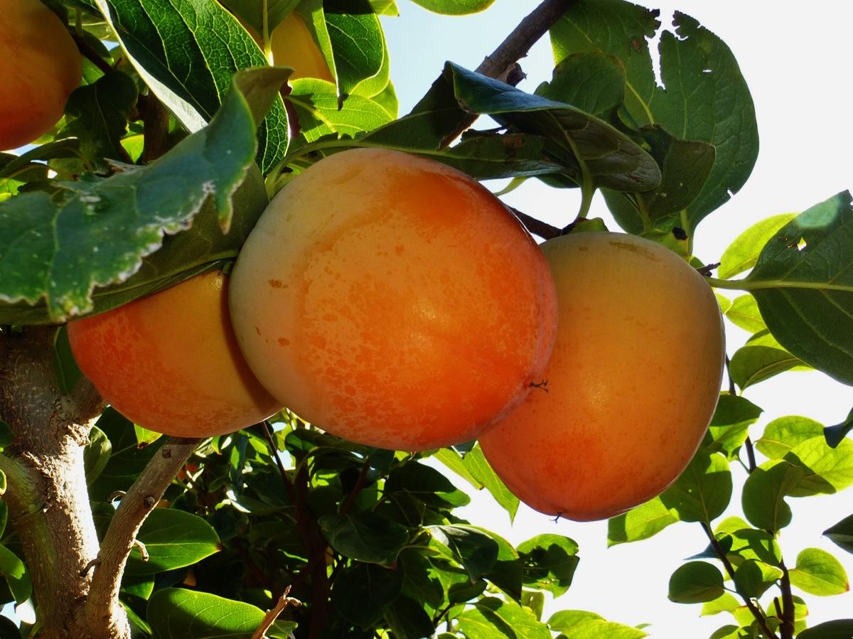 il-frutto-melotto16