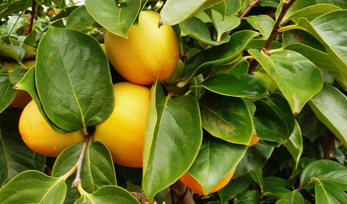 il-frutto-melotto17