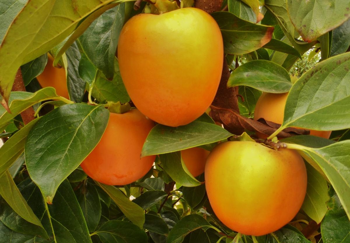 il-frutto-melotto19