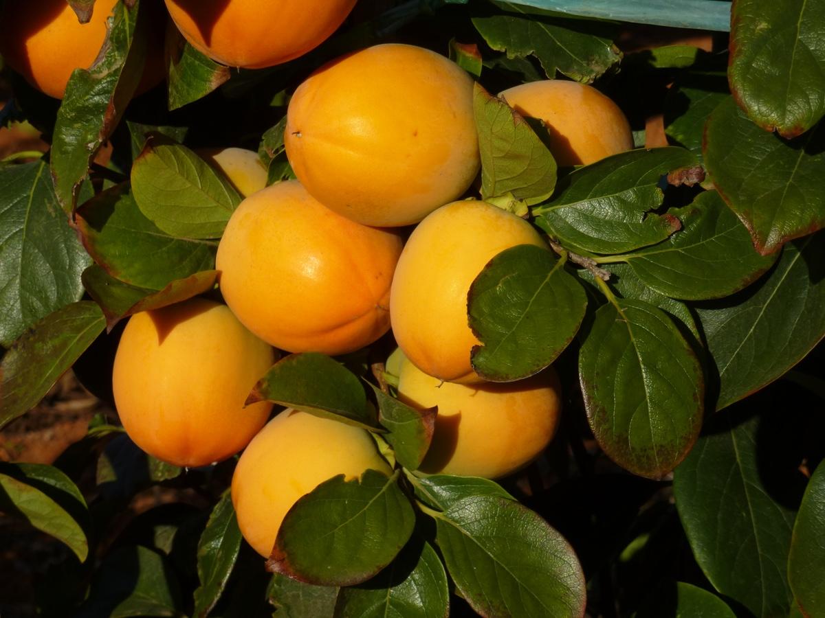 il-frutto-melotto3