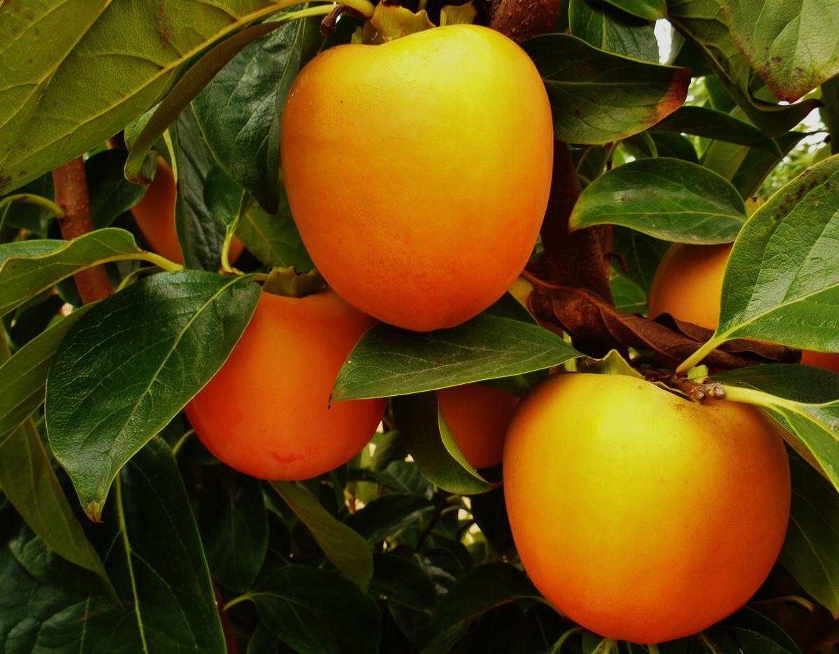 il-frutto-melotto4
