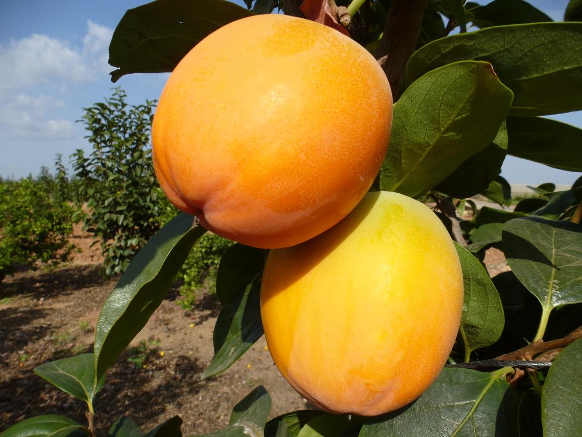 il-frutto-melotto7