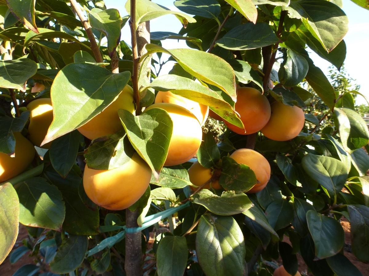 il-frutto-melotto9